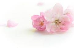 Pink flower on white background. Spring pink flowers on white background Stock Images