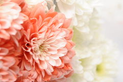 Pink flower on white flower background Stock Photography