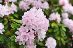Pink Flower. White or pink flower in garden Stock Photography