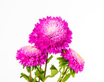 Pink flower on whitebackground. Closeup pink flower on whitebackground Royalty Free Stock Photos