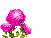 Pink flower on whitebackground Royalty Free Stock Photo