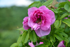 Pink flower of wild dog rose with bee Stock Photography