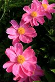 Pink flower. In the wild, pink flowers are blooming Royalty Free Stock Photos