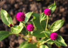 Pink flower. In the wild, pink flowers are blooming Royalty Free Stock Photo