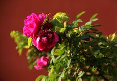 Pink flower. In the wild, pink flowers are blooming Stock Images