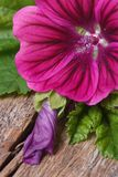 Pink flower wild mallow with a bud macro on a wooden. Vibrant pink flower wild mallow with a bud macro on a wooden table. vertical Royalty Free Stock Photo