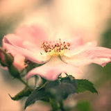 Pink flower of wild rose Royalty Free Stock Images