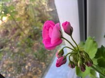 Pink flower on the window Royalty Free Stock Photo