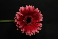 Free Pink Flower With A Green Steam Against A Black Background Low Key Lighting Stock Images - 163482514