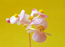 Pink flower on yellow. Pink soft flowers  on yellow background Stock Images