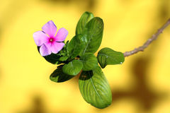 Pink flower on yellow backgrou. Not much to say actually, I just like the combination of background color with the flower in front royalty free stock photo
