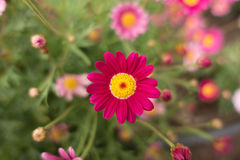 Pink Flower. With yellow center in the garden on macro focus and depth of field Royalty Free Stock Photography