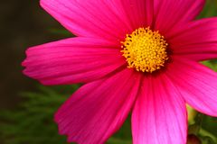 Pink flower head with yellow centre. Background blurred and dark green royalty free stock photos