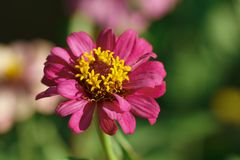 Pink flower with yellow pollen Stock Image