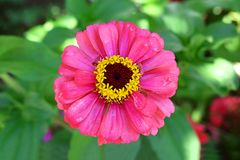 Pink flower of Zinnia stock image