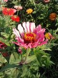 Pink Flower. Zinnia garden nature spring springtime colorful sunshine pretty royalty free stock photography