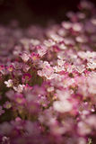 Pink flowerbed. Of small flowers Royalty Free Stock Photo