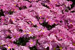 Pink Flowerbed. Many pink flowers in a flowerbed royalty free stock images