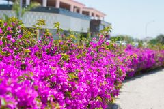Pink flowerbed on the street Royalty Free Stock Photography