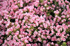 Pink Flowerbed Stock Image