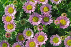 Pink flowerbed Stock Images