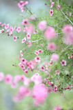 Pink flowere bloom on tree outside Royalty Free Stock Photos