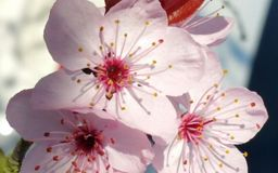 Pink flowered cherry tree Stock Photos
