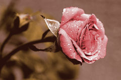 Pink flowered color gold crimson royalty free stock images
