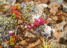 Tiny pink-flowered plant growing on rocks royalty free stock photo