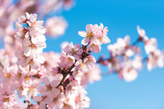 Pink flowering almond trees against blue sky. Blurred background. Close-up. Stock Photography