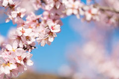 Pink flowering almond trees against blue sky, blurred background. Close-up. Royalty Free Stock Images