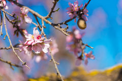 Pink flowering almond trees against blue sky. Blurred background. Close-up. Stock Image