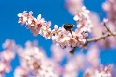 Pink flowering almond trees against blue sky. Blurred background. Close-up. Royalty Free Stock Photos