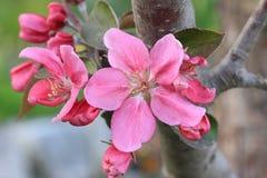 Pink flowering apple tree Royalty Free Stock Photo