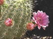 Pink Flowering Barrel Cactus Stock Photography