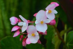 Pink Flowering Begonia. Is one of the member of Begoniaceae genus. It is native to moist subtropical and tropical climate. The Begonia symbolizes warnings about royalty free stock images