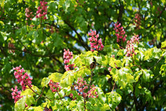 Pink flowering buckeye tree Stock Images