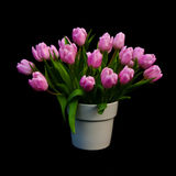 Pink flowering bunch of tulips Royalty Free Stock Image