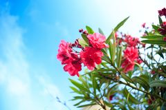 Pink flowering Bush with oleander flowers. On sky background Stock Photos