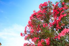 Pink flowering Bush with oleander flowers. On sky background Royalty Free Stock Image