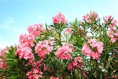 Pink flowering Bush with oleander flowers. On sky background Royalty Free Stock Photo