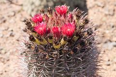 Pink flowering cactus in a garden stock photography