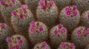 Pink flowering cactus plants, seen at the Royal Horticultural Society Chelsea Flower Show, London UK, 2018. Flowering cactus plants, seen at the Royal Stock Image