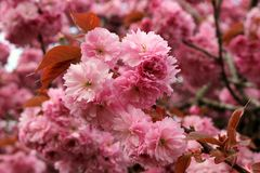 Pink flowering cherry. Picture shows pink flowering cherry blossom in focus at the centre of the image. The backdrop shows more blossom in bokeh Stock Photo