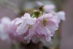 Free Pink Flowering Cherry, Prunus Accolade Stock Photography - 88599842