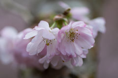 Pink flowering cherry, Prunus Accolade. Pink semi-double flowers of ornamental early spring blossoming hybrid tree stock photography