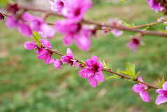 Cherry Tree branch with cherry blossoms on it Stock Photography