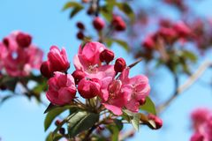 Pink flowering cherry tree. Pink flowering cherry tree in the spring garden royalty free stock image