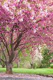 Pink flowering cherry trees Royalty Free Stock Photos