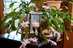 Pink flowering Christmas cactus with candle holder Royalty Free Stock Photography